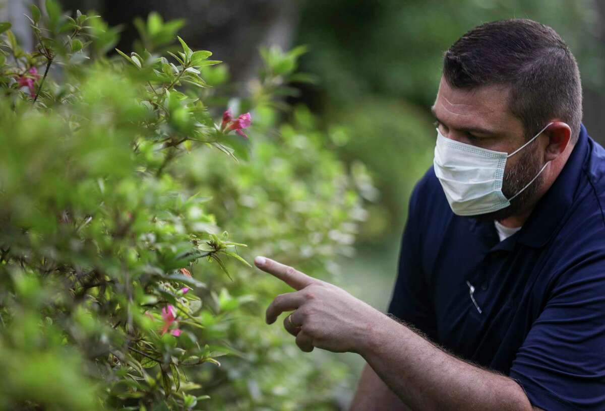 Matthew Petty, assistant district manager for South Houston Davey Tree Residential, looks at an azalea bush with lace bug and pH and nutritional issues Friday, July 31, 2020, in the Tanglewood neighborhood in Houston.