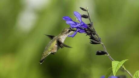 A hummingbird feeds on Salvia.