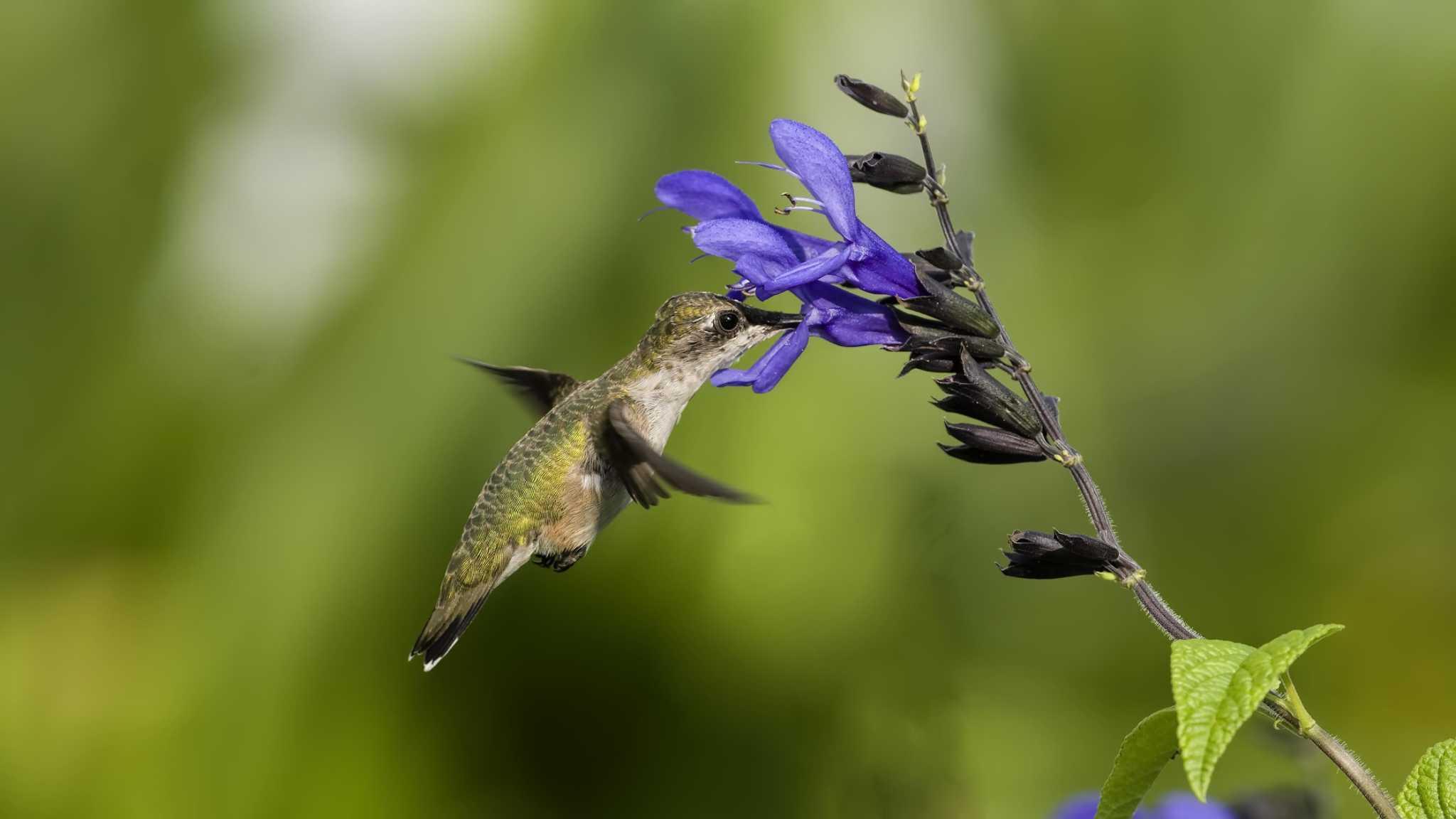 Calvin Finch: Salvias, lantanas love San Antonio's heat