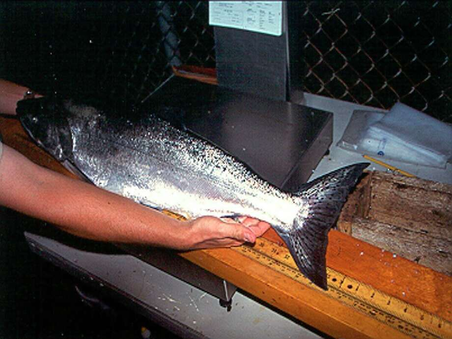 A hatchery-reared Chinook salmon with a clipped adipose fin is pictured. (Courtesy photo/Michigan Department of Natural Resources)