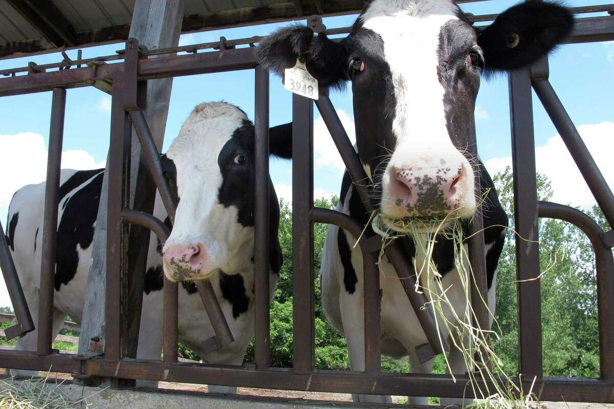 FILE - Cows on pasture at the University of Vermont dairy farm eat hay in a Thursday, July 23, 2020 file photo, in Burlington, Vt. The dairy industry has a familiar question for you: a€œGot milk?a€ Six years after the popular tagline was retired, a€œGot milk?a€ ads are back. The dairy industry is reviving the campaign hoping to prolong the U.S. sales boost milk has gotten during the pandemic. (AP Photo/Lisa Rathk, Filee)