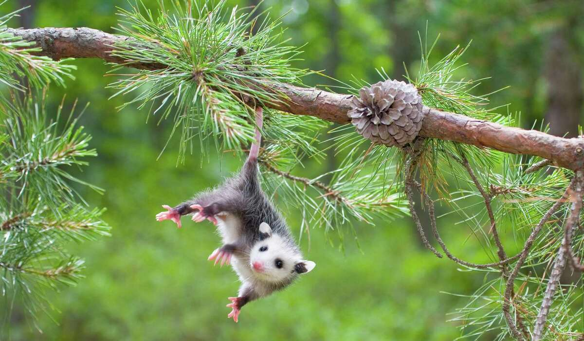 Opossums have a prehensile tail that serves as a fifth appendage.
