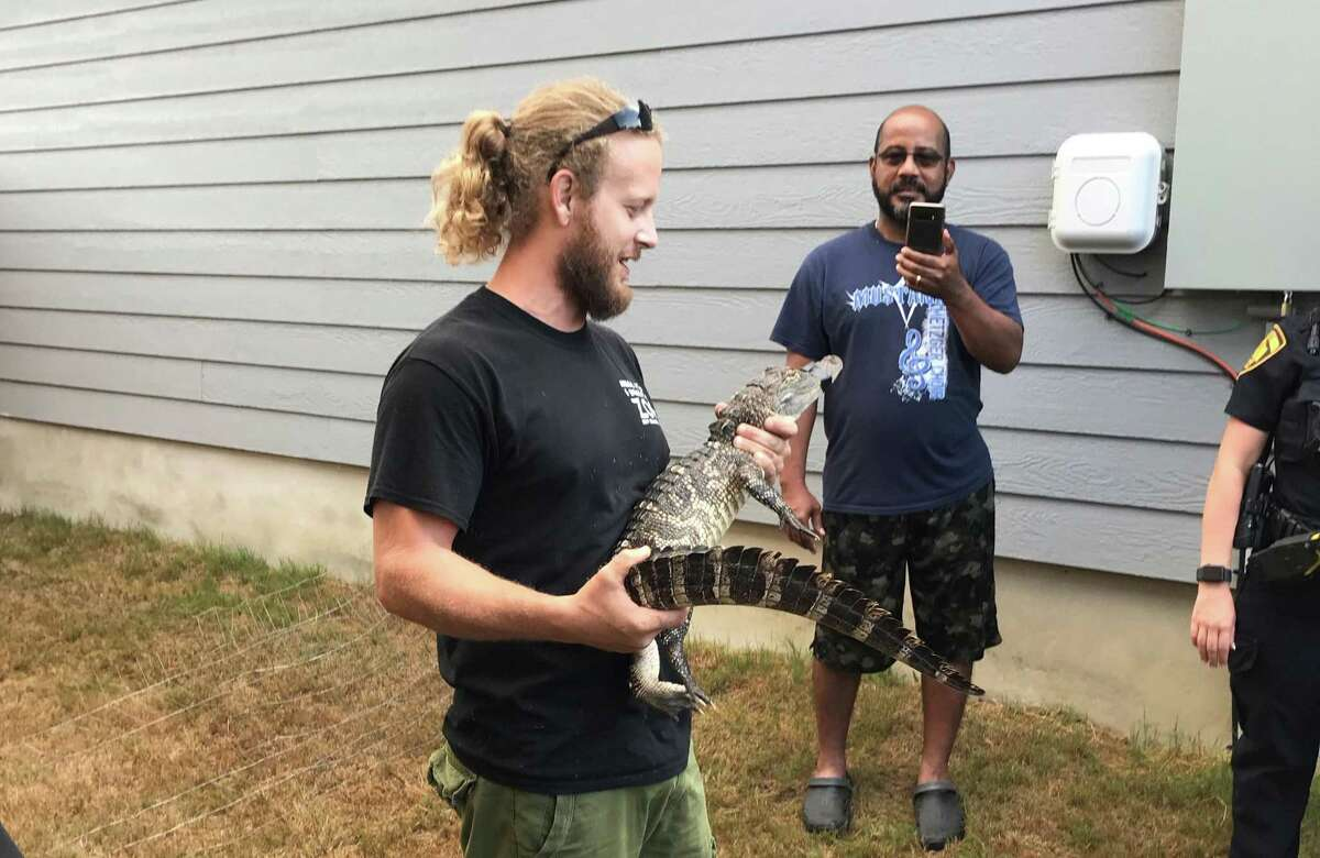Caleb Harris, reptile care specialist with Animal World and Snake Farm Zoo in New Braunfels, holds an alligator found in the yard of a home in the 3100 block of Rosalind Way on San Antonio's Southeast Side on Aug. 4, 2020. Harris secured the animal and took it away to a temporary safe home. State game wardens will determine where it will go; healthy alligators found previously in urban settings have been released in the wild.