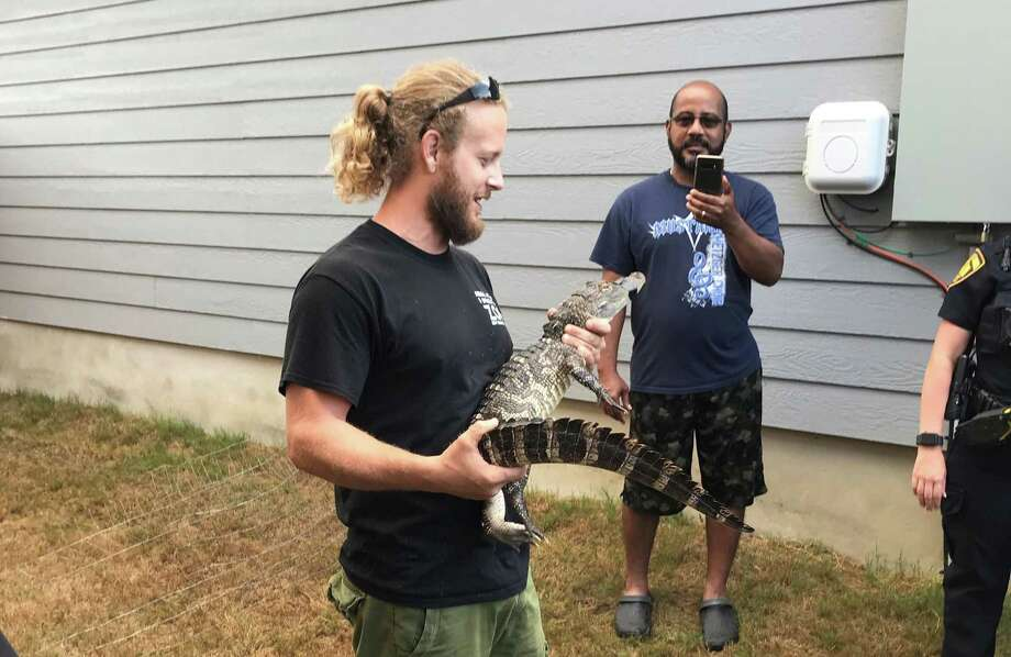 Caleb Harris, reptile care specialist with Animal World and Snake Farm Zoo in New Braunfels, holds an alligator found in the yard of a home in the 3100 block of Rosalind Way on San Antonio's Southeast Side on Aug. 4, 2020. Harris secured the animal and took it away to a temporary safe home. State game wardens will determine where it will go; healthy alligators found previously in urban settings have been released in the wild. Photo: SA Animal Care Services /Courtesy
