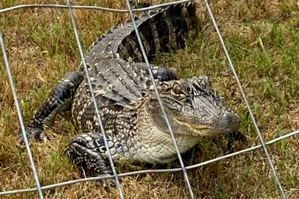 "This alligator, dubbed ""Al E. Gator"" by San Antonio Animal Care Services officers, waits in the yard of a home in the 3100 block of Rosalind Way on the Southeast Side on Aug. 4, 2020. The 5-foot alligator was secured by Caleb Harris of Animal Word and Snake Farm Zoo and its fate will be determined by Texas Parks and Wildlife game wardens."