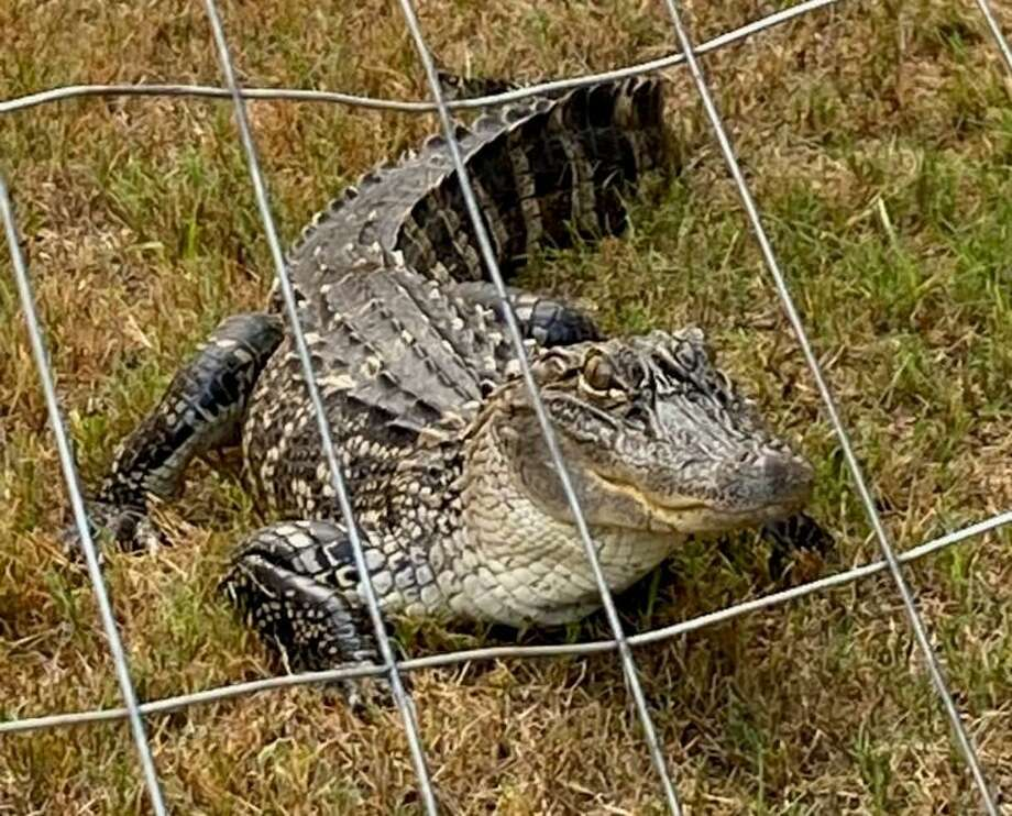 """This alligator, dubbed """"Al E. Gator"""" by San Antonio Animal Care Services officers, waits in the yard of a home in the 3100 block of Rosalind Way on the Southeast Side on Aug. 4, 2020. Photo: Courtesy / ACS /"""