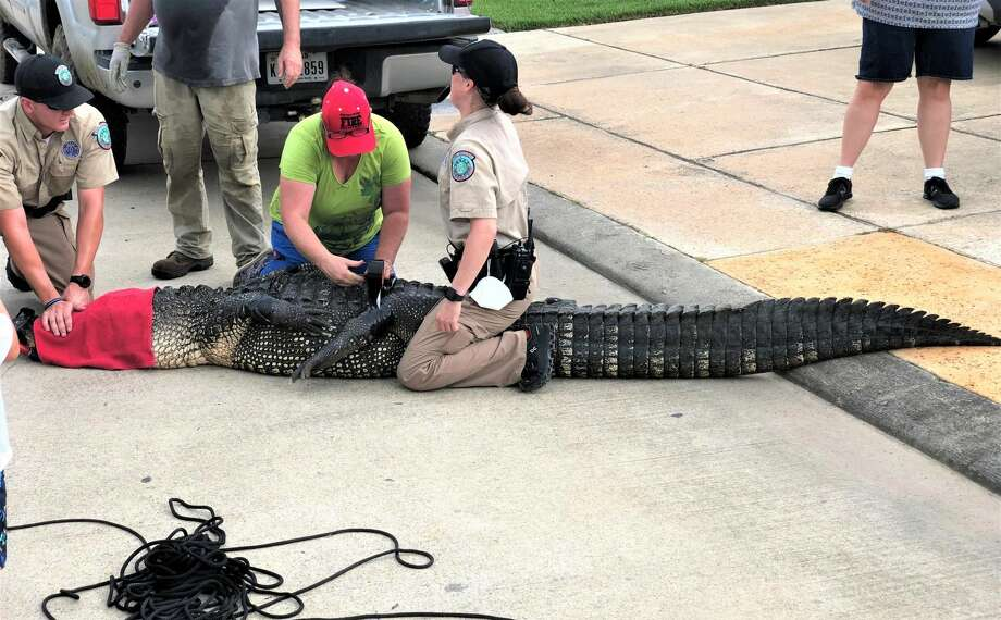 Andrew Grande couldn't believe his eyes when he spotted a nearly 12-foot alligator in the canal behind his League City home on July 24, 2020. Photo: Courtesy