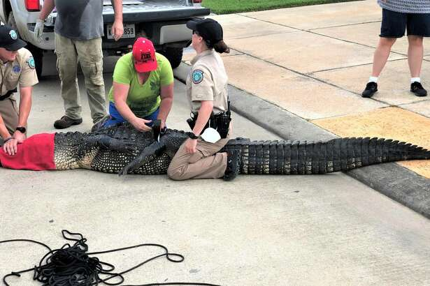 Andrew Grande couldn't believe his eyes when he spotted a nearly 12-foot alligator in the canal behind his League City home on July 24, 2020.