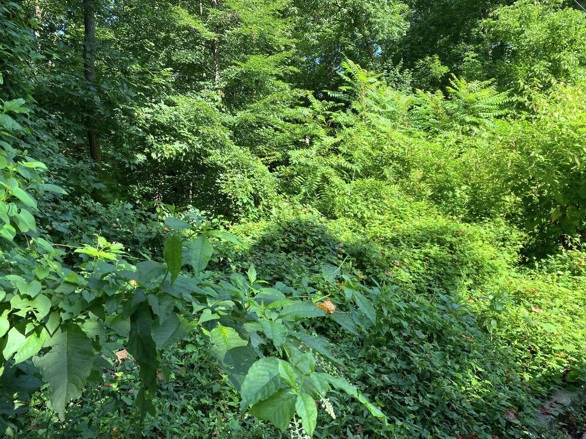 The weedy edge of Glover-Archbold Park in Washington, D.C.