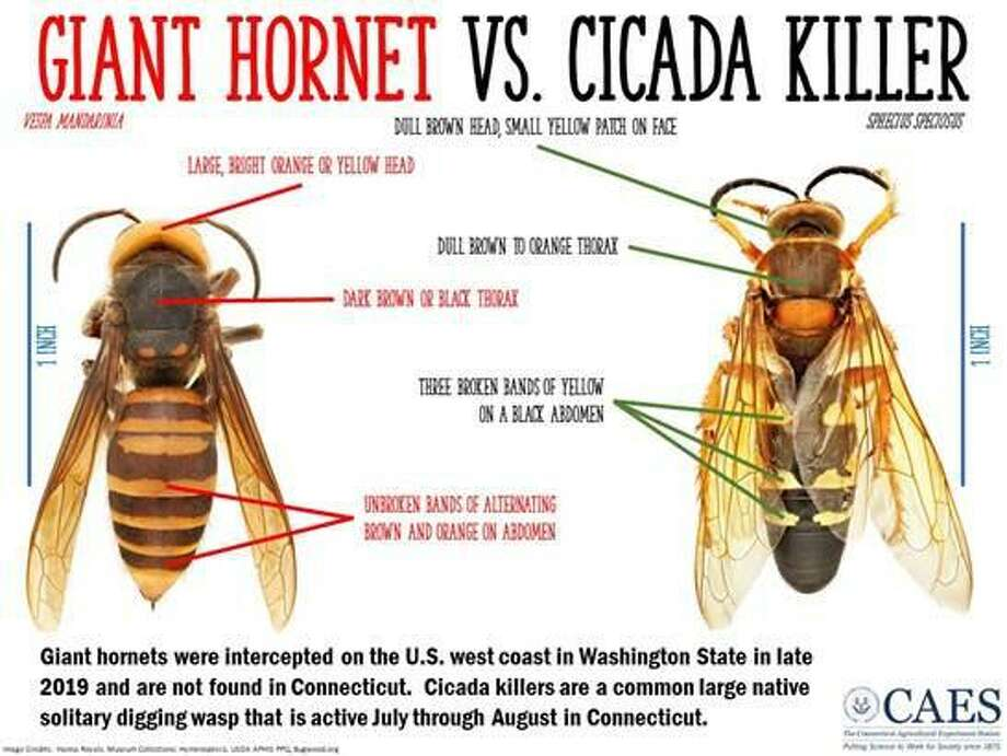 """A graphic noting the differences between the local Cicada Killer wasp and the """"murder hornet."""" Photo: Katherine Dugas / Connecticut Agricultural Experiment Station"""