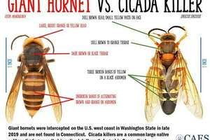 "A graphic noting the differences between the local Cicada Killer wasp and the ""murder hornet."""