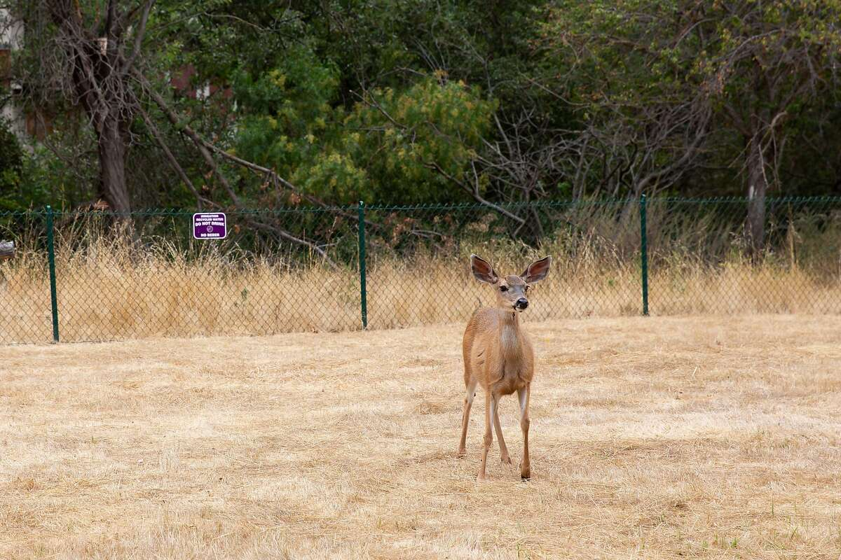 A deer walks through the field at the planned Eden Housing project site in Castro Valley, Calif. on Wednesday, Aug. 5, 2020. Just under 3 acres of the 6.24 acre plot owned by Eden Housing will be developed in an apartment complex with 72 units ranging from studios to 3 bedroom units.