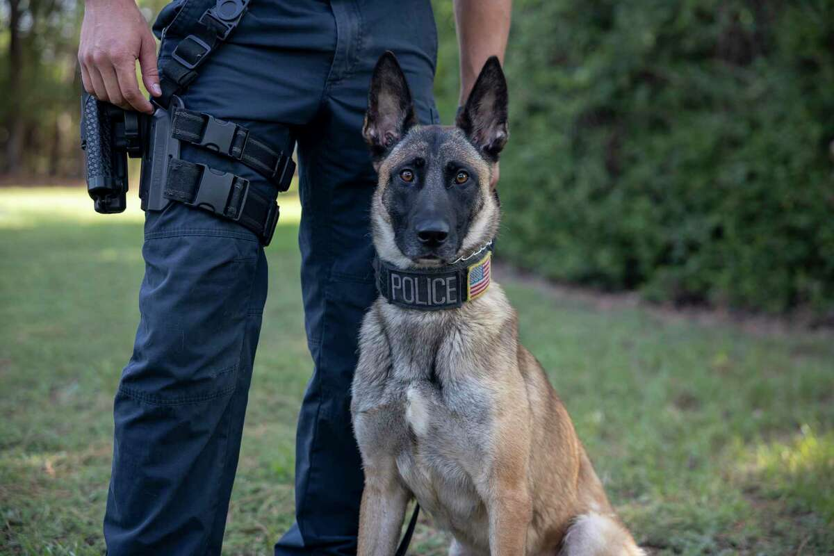 Marlin, a Belgian Malinois, poses for a portrait at the Montgomery County Precinct 3 Constable's Office in The Woodlands, Wednesday, August 4, 2020. Marlin was recently added to their new K-9 force.