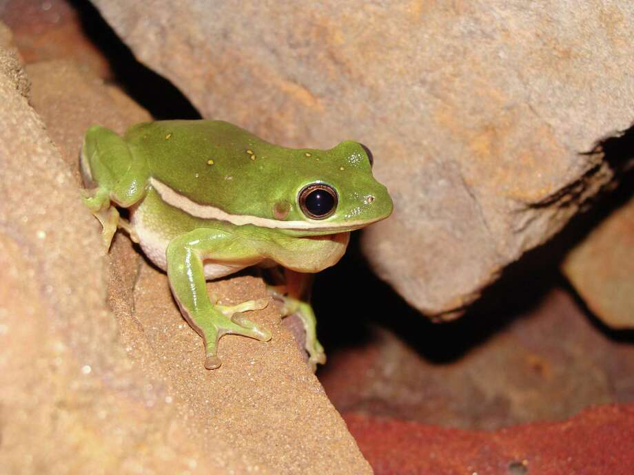 Pictured here, a green tree frog is one of the amphibian species found in the Houston area. Photo: Courtesy Of Maureen Frank, Assistant Professor And Extension Wildlife Specialist, Texas A&M AgriLife