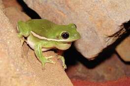 Pictured here, a green tree frog is one of the amphibian species found in the Houston area.