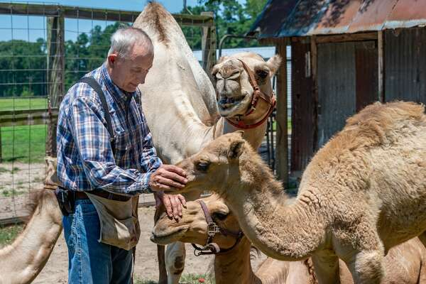 Dr. Ron McMurry MD shows a lot of affection to the camels and Ivan wants to be sure he gets his share. Photo made on August 4, 2020. Fran Ruchalski/The Enterprise