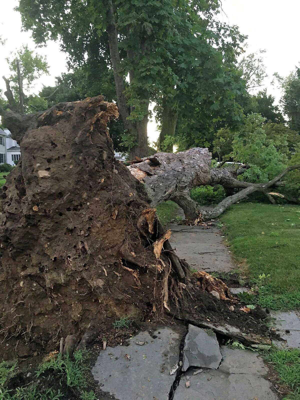 A tree uprooted by tropical storm Isaias on Danbury's Deer Hill Avenue.