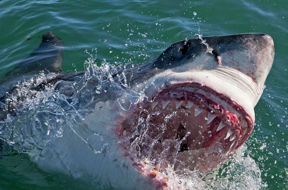 Shark Week on Discovery Channel begins Aug. 9. Photo: Discovery Channel / Contributed Photo / Chris Fallows