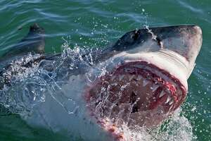 Shark Week on Discovery Channel begins Aug. 9.