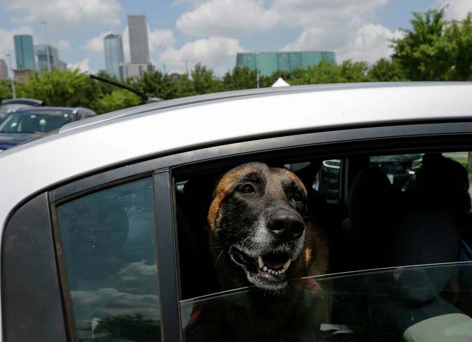 A dog peers its head out of the back window of a car at a hand sanitizer giveaway hosted by Tito's Handmade Vodka at parking lot C of Minute Maid Park on Thursday, Aug. 6, 2020, in Houston. Photo: Godofredo A. Vásquez, Staff Photographer / © 2020 Houston Chronicle