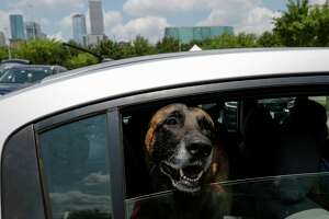A dog peers its head out of the back window of a car at a hand sanitizer giveaway hosted by Tito's Handmade Vodka at parking lot C of Minute Maid Park on Thursday, Aug. 6, 2020, in Houston.