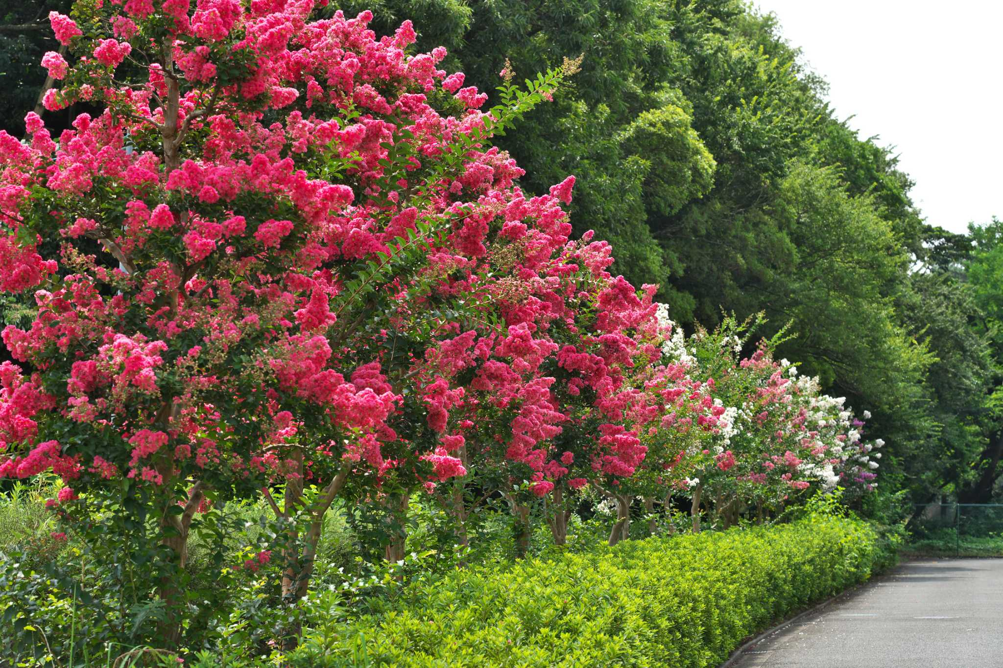 Here's why your crape myrtle isn't blooming