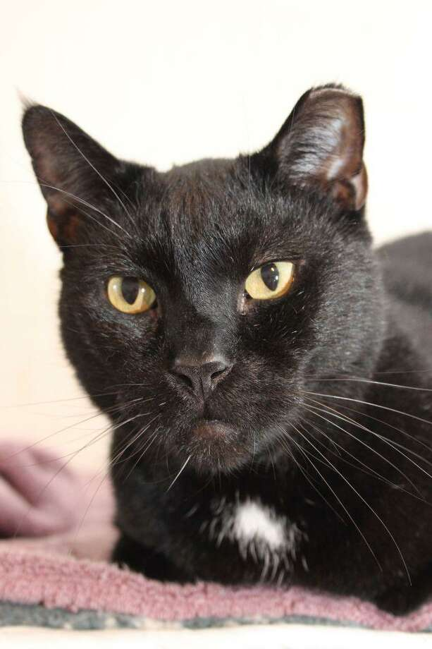 """Onyx is what we call a """"spirit cat,"""" he's very shy with people, good companions for other cats and a great choice for people who aren't home a lot but would like to home a kitty and make a difference. Onyx has come a long way with us. He's not as aloof as he was initially because he has gotten used to us. Most spirit cats will probably never enjoy being brushed or petted, but if you have the patience, we believe Onyx will come around. He does accept slight petting and brushing from our wonderfully dedicated volunteers. Spirit cats don't need or want much attention from humans, they make great mousers and enjoy the company of other cats. If you're not home much but would like a kitty in the house, Onyx is for you. Also he's wet food and treat savvy, great way to begin bonding. Onyx is with us at our adoption center in Granby. For information on adopting Onyx, email marys.kitty.korner@sbcglobal.net Photo: Contributed Photo"""