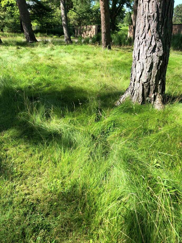 """Amixture of fine fescues called """"No Mow"""" at Dow Gardens in the Whiting Forest area.Staff is onlymowing the areas planted in """"No Mow"""" only a couple of times a year and allowing it to grow 12 inches. (Photo provided/Chuck Martin)"""