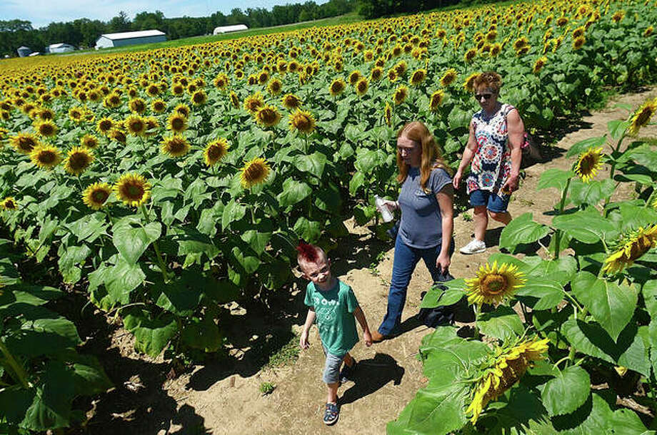 Lincoln Carew leads his mom, Ashley Carew, and grandmother, Karen Hogancamp, through the sunflower maze near L&A Family Farms just south of Paris in Illinois. A seemingly endless field of sunflowers is in bloom in east central Illinois, a golden spectacle that's drawing families from all corners of the Wabash Valley and beyond. Photo: Joseph C. Garza   Tribune-Star (AP)