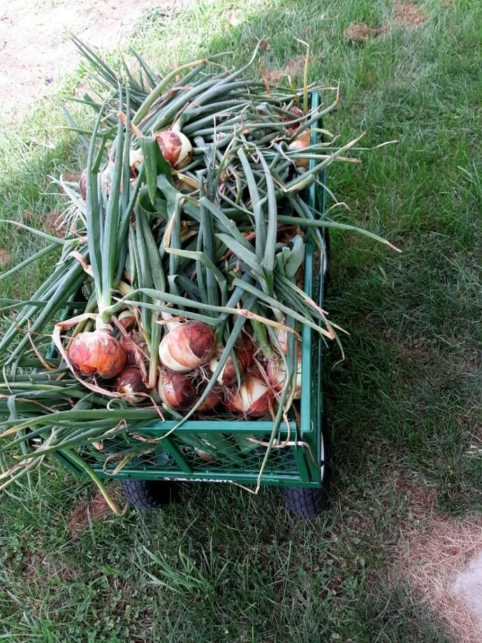 A wagon full of sweet onions from Lovina Eicher's garden. (Courtesy photo)