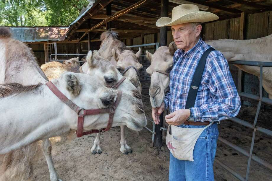 Dr. Ron McMurry MD shares some treats with some of his camels on his farm in Jasper County. They know he always has treats for them. Photo made on August 4, 2020.  Fran Ruchalski/The Enterprise Photo: Fran Ruchalski, The Enterprise / The Enterprise / © 2020 The Beaumont Enterprise