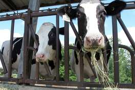"""FILE - Cows on pasture at the University of Vermont dairy farm eat hay in a Thursday, July 23, 2020 file photo, in Burlington, Vt. The dairy industry has a familiar question for you: """"Got milk?"""" Six years after the popular tagline was retired, """"Got milk?"""" ads are back. The dairy industry is reviving the campaign hoping to prolong the U.S. sales boost milk has gotten during the pandemic. (AP Photo/Lisa Rathk, Filee)"""
