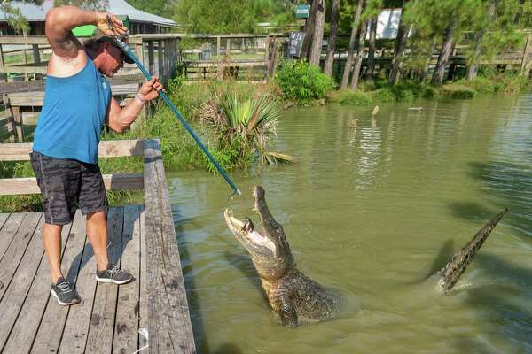 Gary Saurage feeds an 12-foot gator captured at Lake Sam Rayburn at Gator Country on Friday morning. Saurage has been called out by wildlife officials twice recently to capture and remove two large alligators, a twelve-footer from Lake Sam Rayburn and a 11.5-footer from League City. Both were removed from their environment because it was determined that humans were feeding them which creates a hazard for anyone that may get close to them. Photo made on August 7, 2020. Fran Ruchalski/The Enterprise