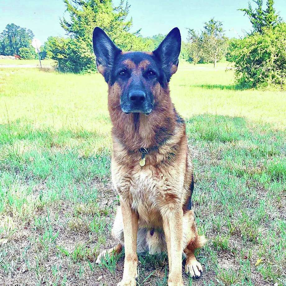 on Thursday, Aug. 6, 2020, K9 Brody, his handler, and other state troopers tracked for nearly one mile in almost 90-degree heat, both on marked paths and through the woods, until locating the lost hiker a short time later. K9 Brody is an eight-year-old German shepherd assigned to a trooper at Troop E in Montville. Brody is the most senior patrol K9 within the State Police. Photo: State Police Photo
