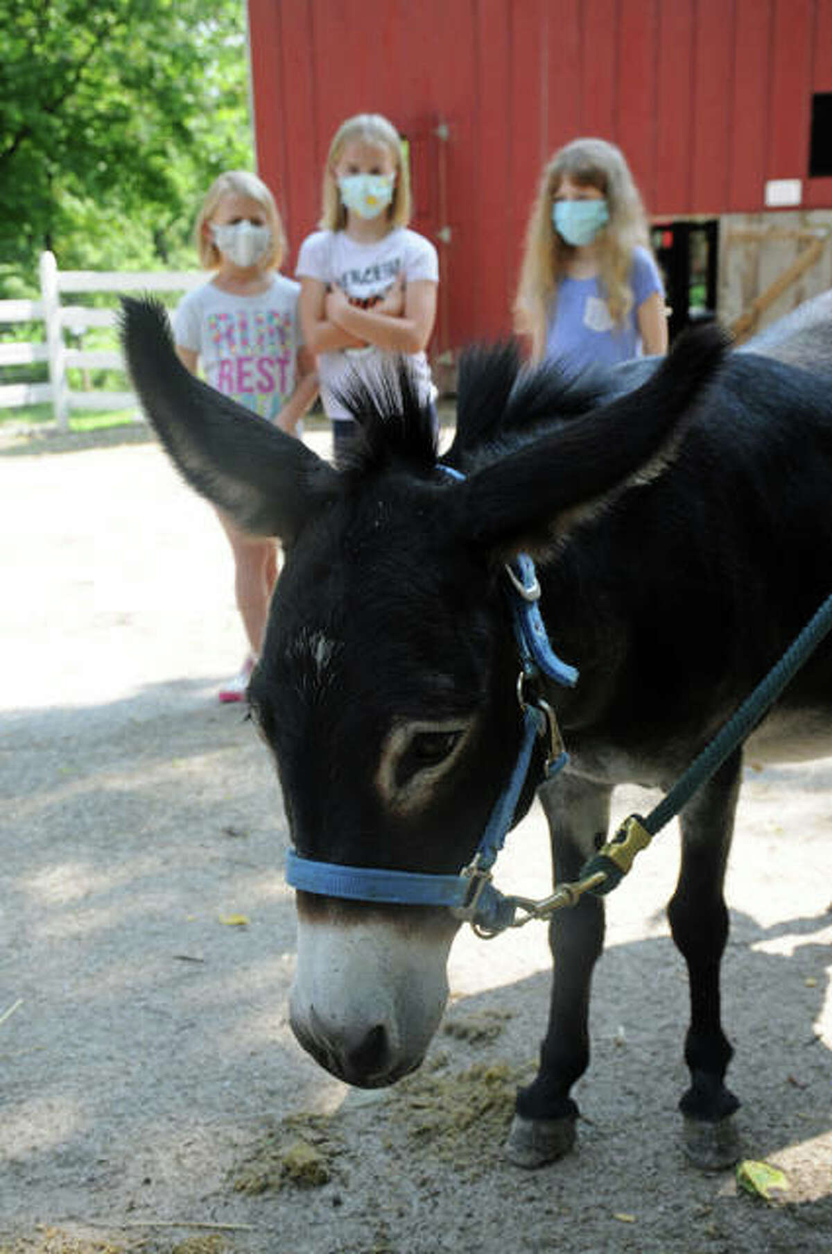 A miniature donkey patiently waits to be brushed by young participants during Sunday's Pony Care class at Willoughby Heritage Farm and Conservation Reserve in Collinsville..