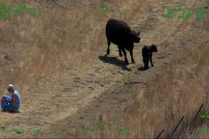 A first responder aids an elderly couple who were injured Sunday at Lynch Canyon Regional Park in Solano County while being chased by a cow.