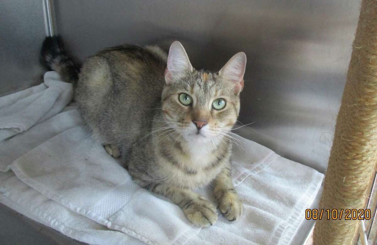 This cat, currently in quarantine at New Canaan Animal Control, accidentally scratched a resident Friday, Aug. 7. The female domestic shorthair tri-color Tabby was found in the Husted Lane area wearing a black collar with crossbones and skulls. The owner should contact Animal Control at 203-594-3510.