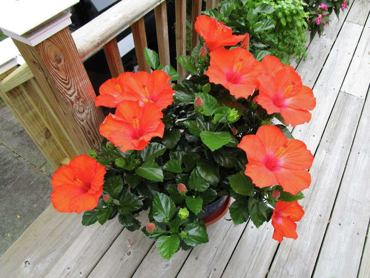 These are Carol French's hibiscus on the deck of her Chatham home.