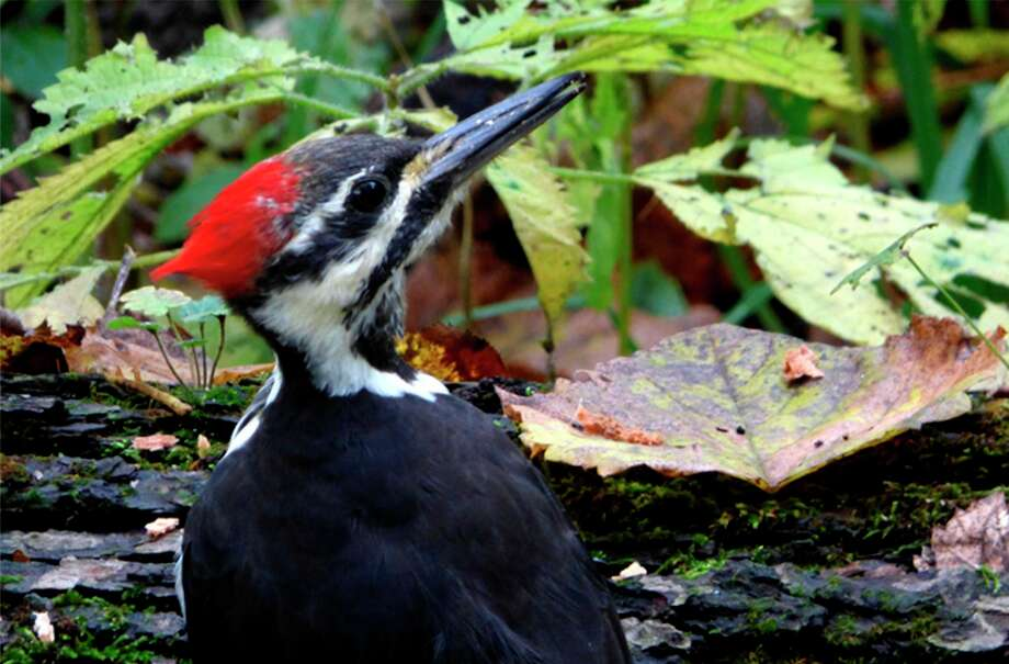 Wednesday, Aug. 12: Woodland Wander: A look at woodpeckers is set for 9 to 10 a.m. at Chippewa Nature Center in Midland. Join an interpretive naturalist to talk about the six different woodpeckers that visit CNC. (Photo provided/Chippewa Nature Center)