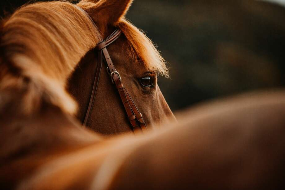 At least five horses have been killed and dismembered in the Pearland area since May, according to local law enforcement officials. Photo: Tabitha Roth/Getty Images