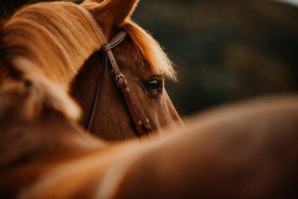 Warmblut Pferd Stute Fuchsstute im Herbst im Gegenlicht Sportpferd mit brauner hellbrauner Trense