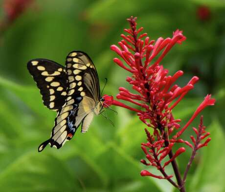 Chocolate brown swallowtail butterfly feeding on the red flowers of a firespike.