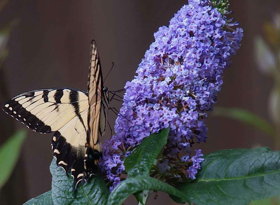 Pugster Amethyst like other Pugster colors has fat or pudgy blooms provinging a lot of nectar for pollinators like this Eastern Tiger Swallowtail. (Norman Winter/TNS) / TNS