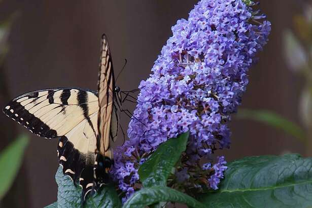 Pugster Amethyst like other Pugster colors has fat or pudgy blooms provinging a lot of nectar for pollinators like this Eastern Tiger Swallowtail. (Norman Winter/TNS)