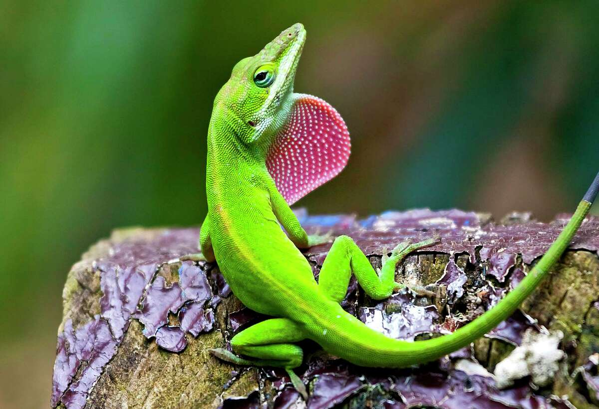 The male green anole has a throat fan called a dewlap that's much larger than the one on females.