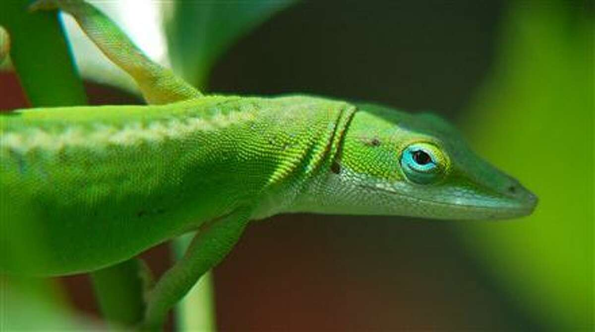 The green anole, or Carolina anole, is the most common lizard in and around San Antonio.