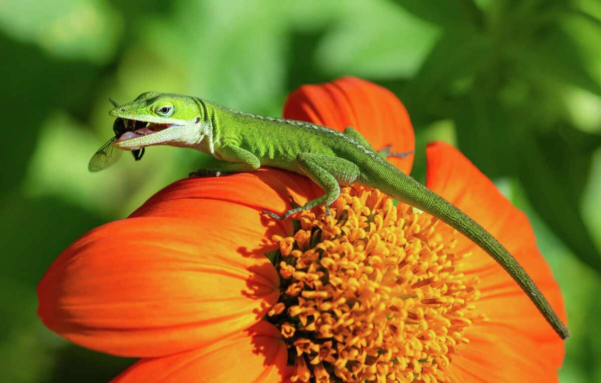Green anoles eat all sorts of insects, from flies to crickets and spiders.