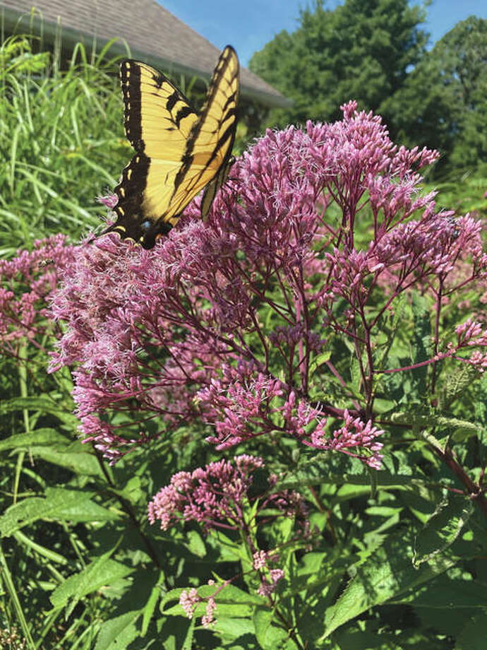A butterfly lands on Joe-Pye weed in rural Roodhouse.