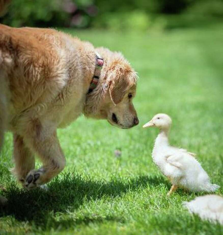 The Bousquet family includes their golden retriever, Cody and Pekin duck, Quackers. Quackers has been missing since July 25 and the family desperately wants her returned home. Photo: Lisa Bousquet / Contribued Photos