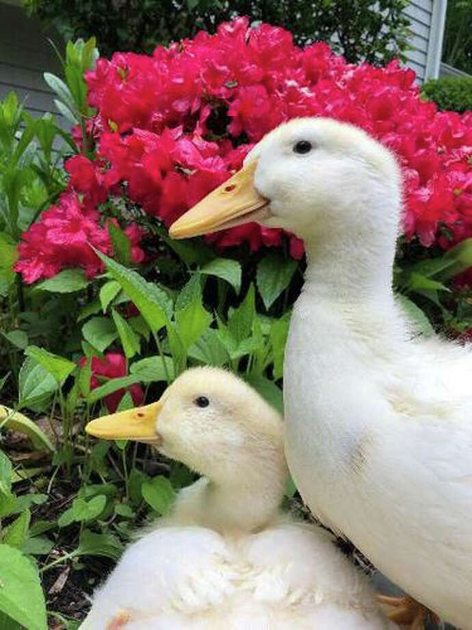 The Bousquet family adopted two Pekin ducks in April. From left, sisters Quackers and Peanut Butter were raised in the family home until Peanut Butter was killed by a raccoon and Quackers went missing. Photo: Lisa Bousquet